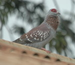Speckled Pigeon by Peter Ferrera