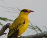 African Golden Oriole by Peter Ferrera