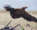 Tawny Eagle by Brian McMorrow