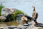 Egyptian Goose by Brian McMorrow