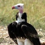 White-headed Vulture by Brian McMorrow