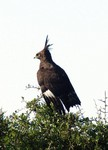Long-crested Eagle by Brian McMorrow
