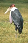 Marabou Stork by Brian McMorrow