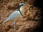 Egyptian Plover by Peter Ferrera