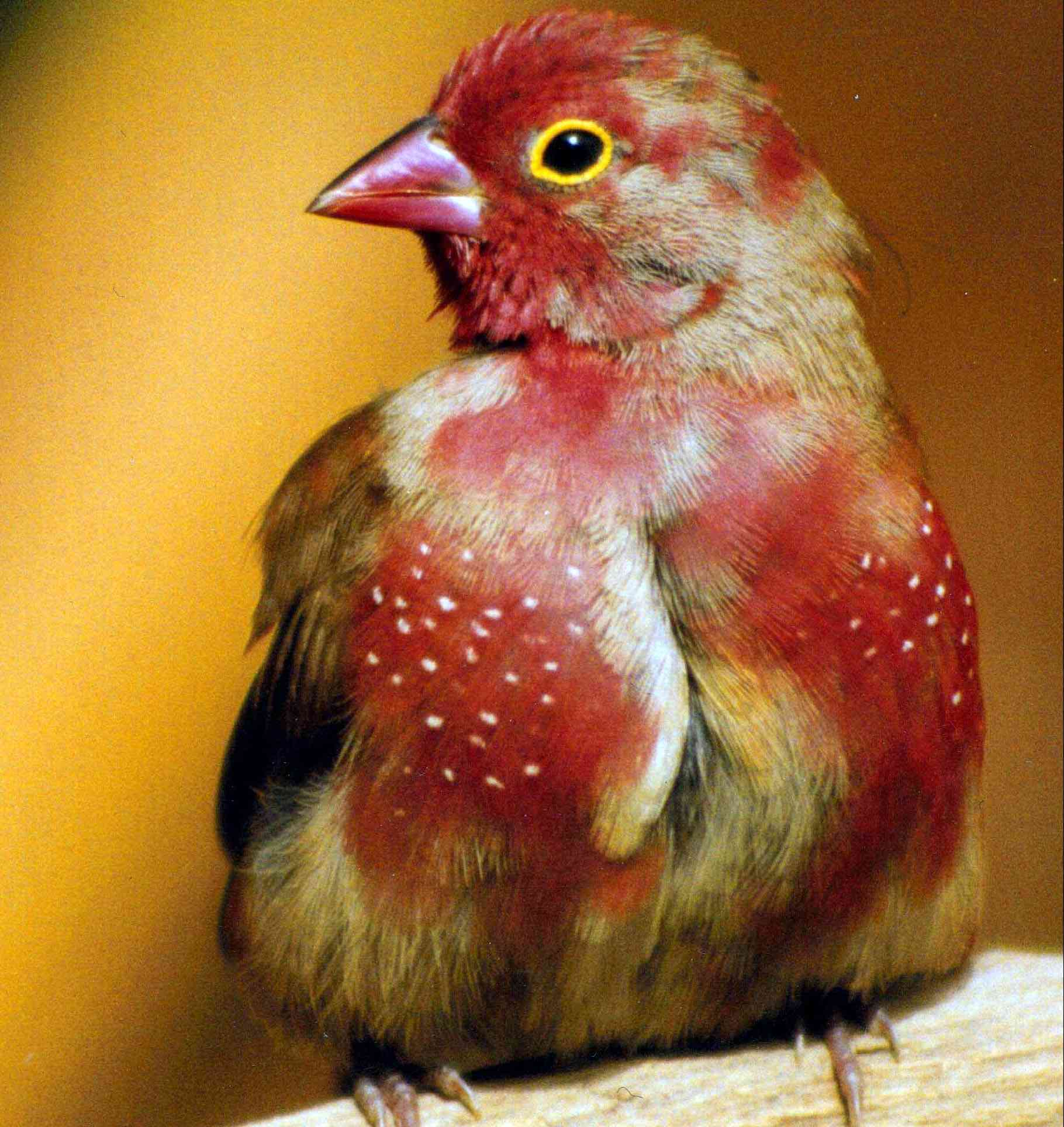 Male Red-billed Firefinch, eclipsing into first breeding plumage by Joost & Susanne De Batts