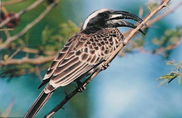 African Grey Hornbill by Martyn Wilson