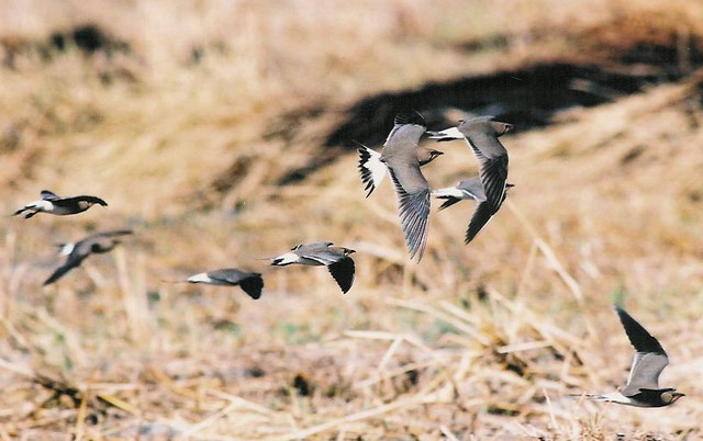 Collared Pratincoles in flight by Martyn Wilson