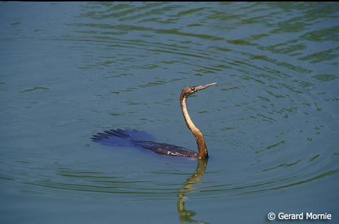 African Darter by Gerard Mornie