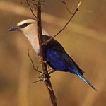 Blue-bellied Roller by Gerard Mornie