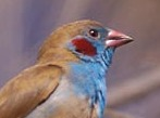 Red-cheeked Cordon Bleu by Gerard Mornie