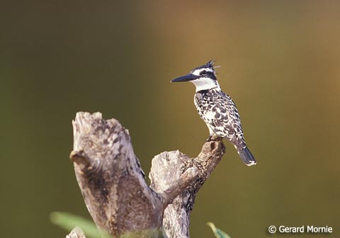 Pied Kingfisher by Gerard Mornie