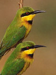 Little Bee-eater by Gerard Mornie
