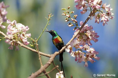 Beautiful Sunbird by Gerard Mornie