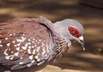Speckled Pigeon by Gerard Mornie