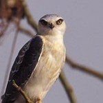 Black-shouldered Kite by Gerard Mornie