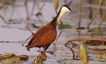 African Jacana by Gerard Mornie