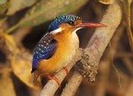 Malachite Kingfisher by Gerard Mornie