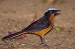 White-crowned Robin-Chat by Gerard Mornie