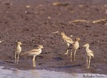 Senegal Thick-knee by Gerard Mornie