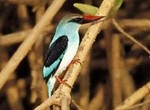 Woodland Kingfisher by Gerard Mornie