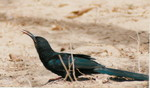 Green Woodhoopoe by Martyn Wilson