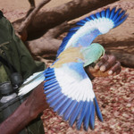 Mist-netted Abyssinian Roller held by Daouda Sylla for biometrics--by Andy lamy