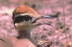 Temminck's Courser on nest by Nigel Hopkins.JPG