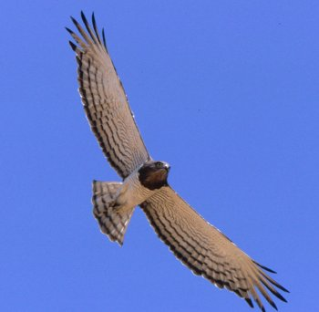 Beaudouin's Snake Eagle, photographed by raptor expert Bill Clark while up-country with Clive Barlow