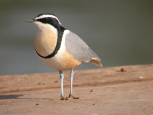 The much sought-after Egyptian Plover or Crocodile Bird by Tim Norris