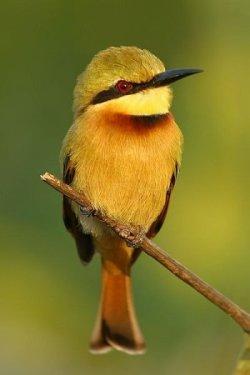 Little Bee-eater by Martyn Wilson