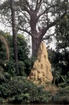 Termite mound in The Gambia by Andy Lamy