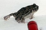 A frog in my room at Janjangbureh Camp?  Why, yes! Photo by Fred Davidson