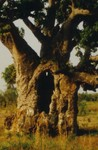 Baobab architecture in sudan savanna