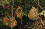 Vitelline Masked Weaver Nests