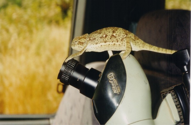Bearded Chameleon adjusting scope