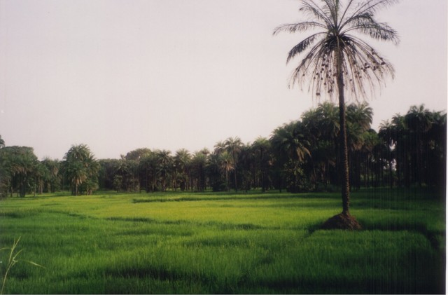 Rice patties in the Gambia, Palm with weaver nests