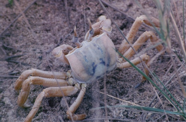 Ghost crab at Langue de Barbarie sandspit